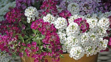 Como Plantar Flor-de-Mel em Casa