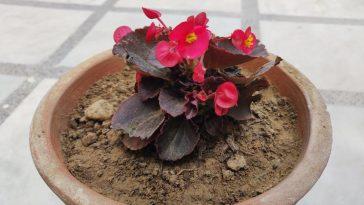 Como Plantar Flores Begônia no Vaso