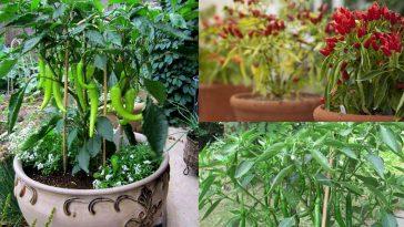 Cultivar Pimentas Verdes