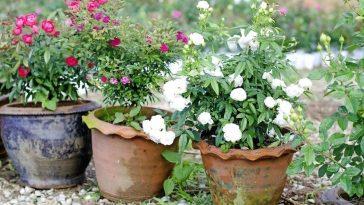 Dicas Para o Cultivo de Rosas em Recipiente