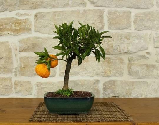 Mandarina no Vaso
