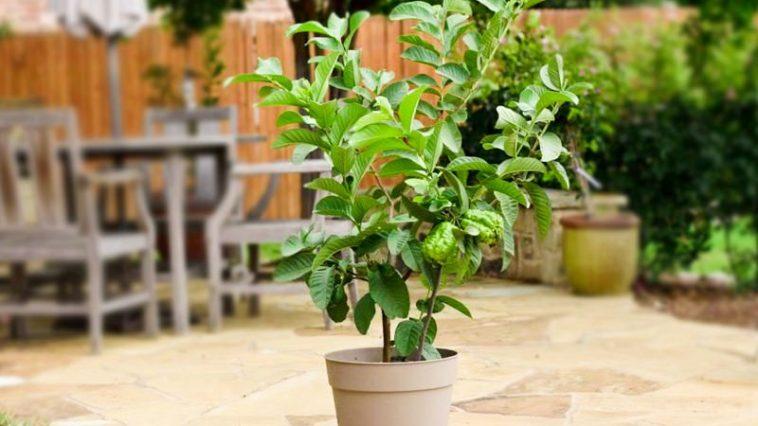 Plantar Goiaba em Vasos