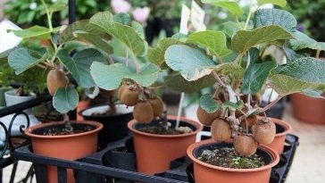 Plantar Kiwi em Vasos