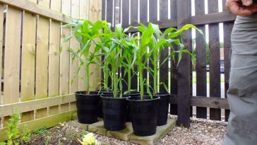 Plantar Milho no Vaso