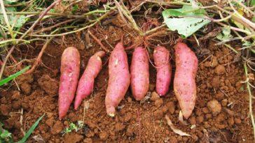 Plantar e Cultivar Batata-doce