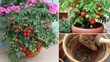 Tomates Cereja no Vaso
