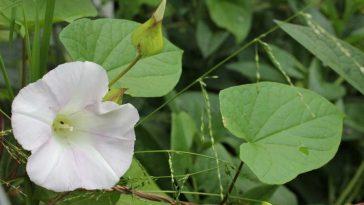 planta trepadeira