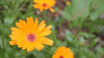 plantar flor de Áster